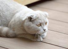 球猫折叠苏格兰人 免版税库存图片