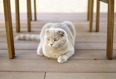 球猫折叠苏格兰人 图库摄影