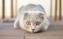 球猫折叠苏格兰人 库存照片