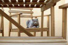 球猫折叠苏格兰人 库存图片