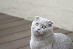 球猫折叠苏格兰人 免版税库存照片