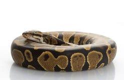 球腹部Python黄色 免版税库存照片