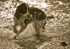 球英国西班牙猎狗蹦跳的人 免版税库存照片