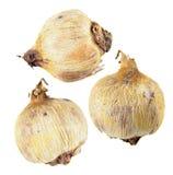 球茎在白色背景或Dichelostemma ida迈亚隔绝的爆竹花 图库摄影