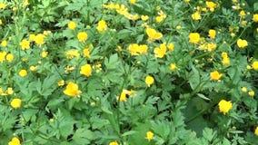 球茎明亮的黄色开花的春天花的毛茛属 射击与steadicam的全景行动 影视素材