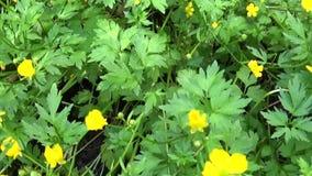 球茎明亮的黄色开花的春天花的毛茛属 射击与steadicam的全景行动 股票录像