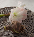 球茎植物和花hippeastrum (amarillis) 免版税库存照片