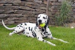 球达尔马提亚狗使用 免版税库存照片