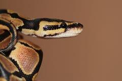 球Python年轻人 免版税库存照片