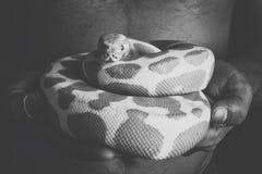 球Python蛇 免版税图库摄影