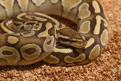 球Python (国王的Python) 免版税库存图片