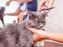 理发一只毛茸的猫 在美容院的理发 专业人员 库存照片