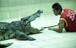 经理在泰国鳄鱼托儿所 教练员放他的头入鳄鱼的下颌,并且保持活 一系列的st 库存图片