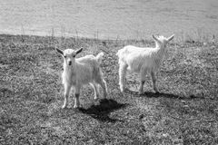 理想的构成 两只白色小的山羊 北京,中国黑白照片 免版税库存照片