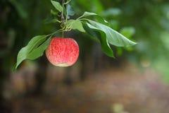 理想的红色苹果 免版税库存照片