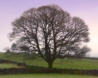 理想的结构树冬天 库存照片