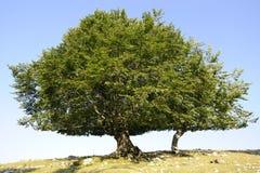 理想的结构树 库存照片