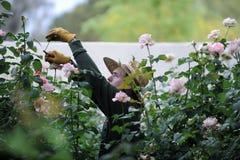 整理罗斯厂在一个庭院里在亚利桑那 库存图片