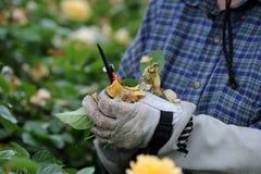 整理罗斯厂在一个庭院里在亚利桑那 图库摄影