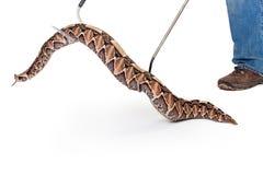 经理被拾起的大蛇蝎蛇 免版税库存照片