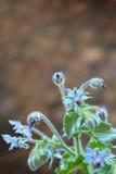 琉璃苣-紫草科officinalis 库存图片