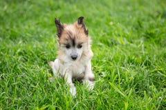 琥珀色的无毛的小狗品种中国有顶饰狗画象在绿草坐夏日 免版税库存照片