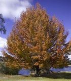 琥珀色的液体结构树 免版税库存照片