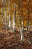 琥珀色的秋天森林 免版税库存照片