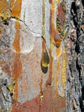 琥珀色的色的下落森林透明黄色 库存照片