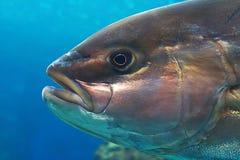 琥珀色的鱼插孔 免版税图库摄影