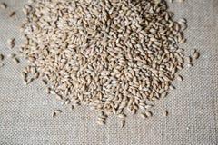 琥珀色的麦芽疏松 库存图片