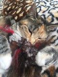 琥珀被注视的母猫 免版税库存照片