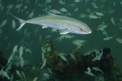 琥珀鱼更加巨大的学校tomtate 免版税库存照片