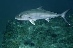 琥珀鱼更加极大的橡皮防水布礁石 免版税库存照片