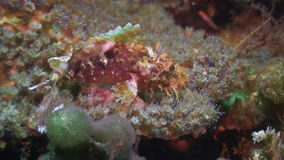 琵琶鱼水下在野生生物菲律宾海洋  股票视频