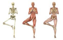 瑜伽结构树姿势-解剖重叠 免版税库存照片