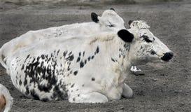 瑞典无角的母牛 免版税库存图片