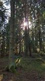 瑞典森林 图库摄影