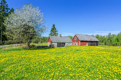瑞典牛棚在春天 库存图片