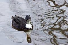 瑞典蓝色鸭子 库存照片