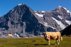 瑞士母牛在Bernese阿尔卑斯 免版税库存图片