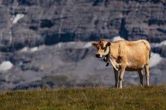 瑞士母牛在Bernese阿尔卑斯 免版税图库摄影