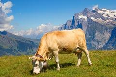 瑞士母牛 库存图片