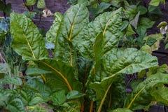 瑞士牛皮菜有机生长在庭院里的健康束 库存照片