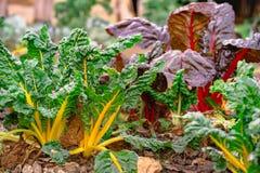 瑞士牛皮菜beta寻常家种和有机在分配地段在农村的一个菜园里 免版税库存照片