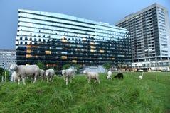 瑞士苏黎士- 2017年6月02日:绵羊临近心脏中心Tr 免版税图库摄影