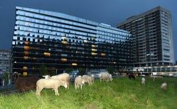 瑞士苏黎士- 2017年6月02日:绵羊临近心脏中心Tr 免版税库存照片