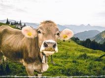 瑞士阿尔卑斯在夏天,调查照相机的母牛的画象 免版税库存照片