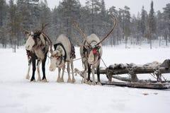 瑟米在积雪的森林的驯鹿队 免版税图库摄影