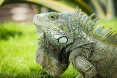 瓜亚基尔鬣鳞蜥  图库摄影